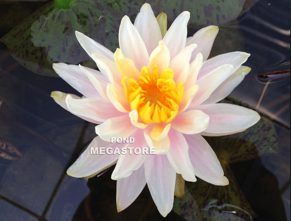 Citrus Twist Waterlily