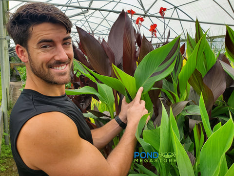 Cleopatra Canna <br> Live Plants <br> Long Blooming Season!