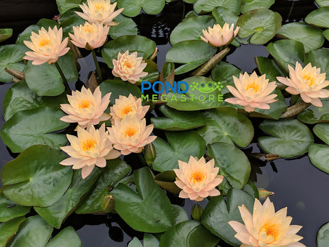 Clyde Ikins Waterlily <br> Large Hardy Water Lily <br>A Pond Megastore Top pick! <br> Plants Available Spring 2021