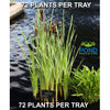 Cattail Plants, Wholesale - Full Trays <br> (Typha Latifolia) <br> 72 PLANTS EACH TRAY