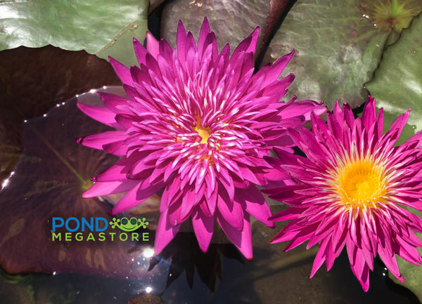 Corona Red Waterlily  <br> Day Blooming Waterlily <br> Ships Spring 2020 !
