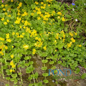 Creeping Jenny  <br> Lysimachia nummularia <br> Plants Available Spring 2021