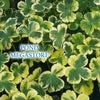 Crystal Ball (Hydrocotyle) Variegated Pennywort