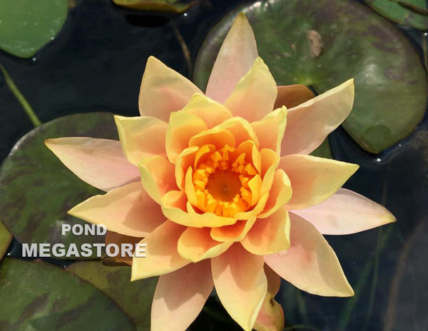 Cynthia Ann Waterlily <br> Small-Medium Hardy Water Lily <br> Plants Available Spring 2021