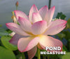 Dancing Phoenix Lotus <br> Heavy Bloomer, Early Bloomer!