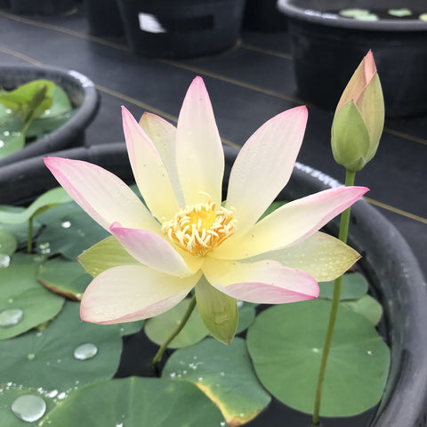 Dancing Phoenix Lotus <br> Dwarf <br>  Heavy Bloomer, Early Bloomer!  <BR>RESERVE SACRED LOTUS in OCTOBER for spring 2021!