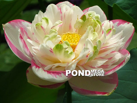 Dasajin Lotus , Large Versicolor <br> Zac's Top 25 Selection for 2021! <br> Splashes of Purple! <BR> Reserve Sacred Lotus in OCTOBER for spring 2021!
