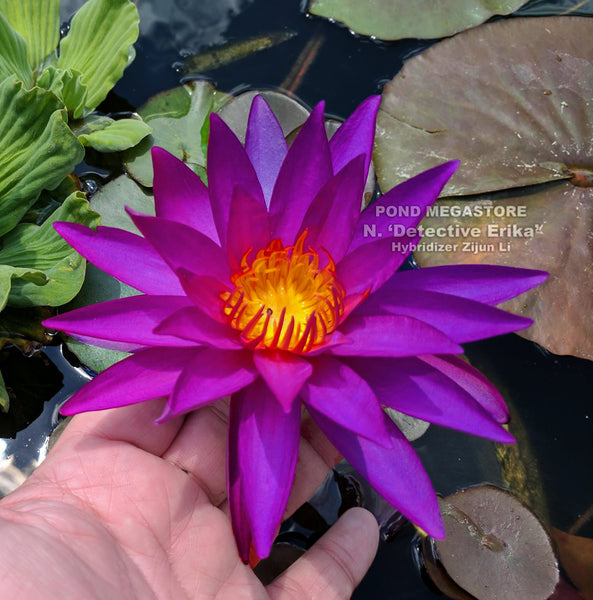 Detective Erika Water Lily <br> Warm water required at planting time <br> Add to Email List for Next Availability