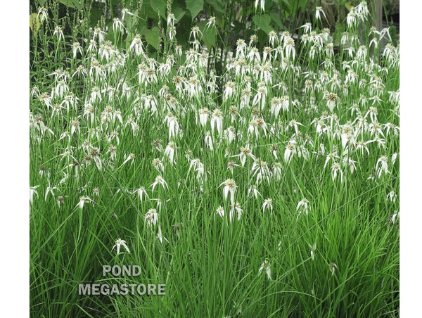 Star Grass (Dichromena Colorata) <br> White Star Sedge