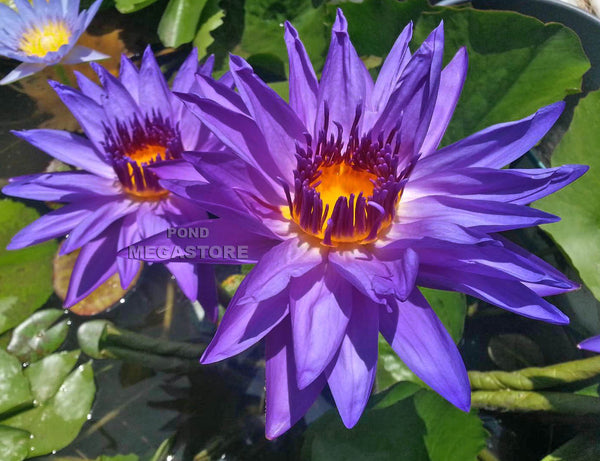 Director George T. Moore Water Lily <br> Day blooming <br> Medium Water Lily <br>