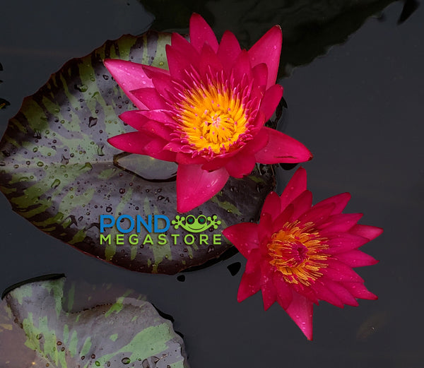 Doris Holt (very red!) Water Lily <br> Day blooming <br> Large Water Lily <br> Ships Spring 2020 !