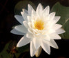 Perry's Double White Hardy Waterlily   <br>  Medium <br>