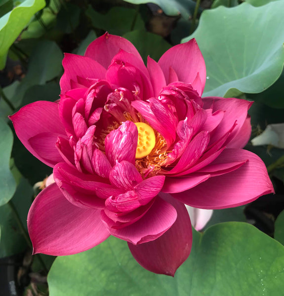 Drop Blood Lotus (Dixue) <br>  Tall  <br> Dark Exotic Red Color! <BR> Reserve Now for Spring 2020 Delivery!