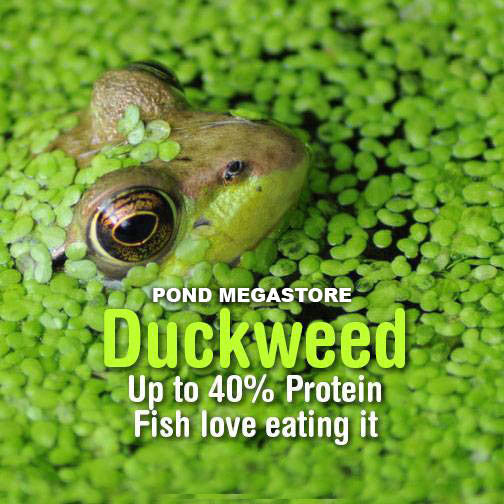 Duckweed Lemna minor | PondMegastore