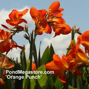 Chiquita Punch Canna 'Dwarf Orange Punch'