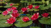 Ellisiana Hardy, Red Waterlily  <br> Small - Medium <br>A Pond Megastore Top pick!
