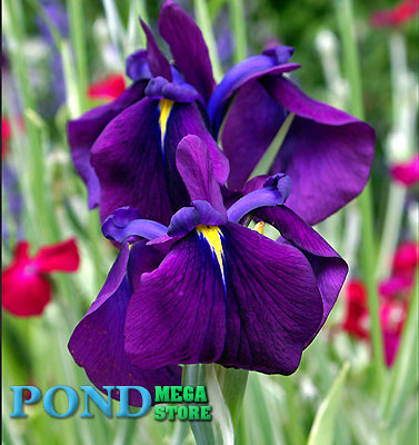 Japanese Variegated Iris <br> (Iris Ensata Variegata) <br> Plants Available Spring 2021