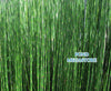 Horsetail Rush (Equisetum Hymale) - Customer Favorite! <br> BACK IN STOCK MAY 14th 2021