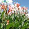 Longwood Canna (Canna Erebus) <br> Blooms until frost! <br>
