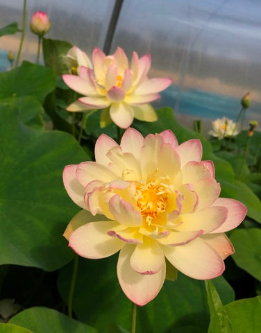 Evening Showers Lotus <br> Heavy Blooomer, Early Bloomer!