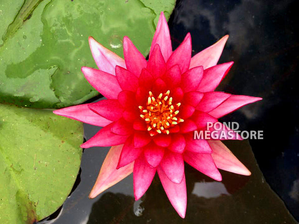 Firecracker Waterlily <br> Large Waterlily