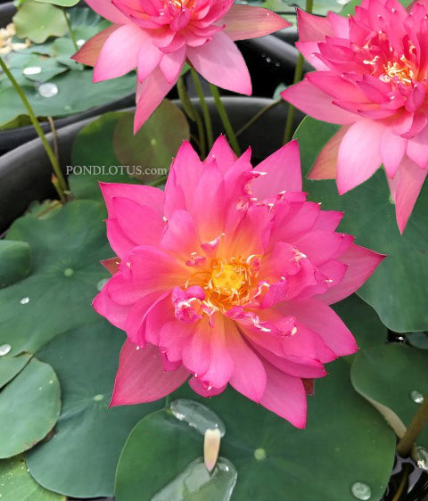 Flame 14 Lotus <br> Medium <br>  Heavy Bloomer! <BR> Reserve Sacred Lotus in OCTOBER for spring 2021!