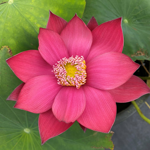 2021 Flamingo Lotus <br> Red-Hot Color! - Top 10 Lotus!<br> Reserve ASAP for 2021    LP1