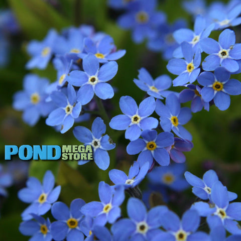 Forget Me Nots, Blue (Myosotis Scrip.) <br> Winter Hardy / Shade loving