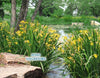 Yellow Iris Davidson<br> Winter Hardy zone 5b-12