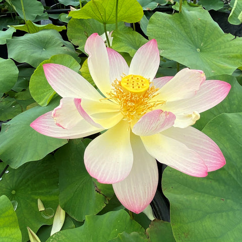 2021 Friendship Of Supervisor and Student Lotus  <br>Stunning, Top 25 Lotus!<BR> Reserve Now for Spring 2021!