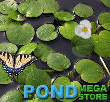 Frogbit (Limnobium Spongia) <br> Floating Plants <br>  Temporarily out of stock until May 1st 2021