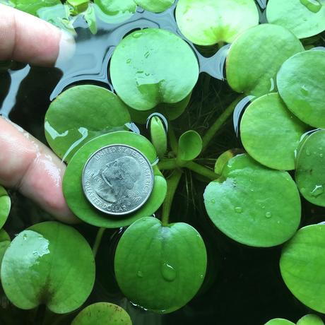Frogbit  Extra Large, <br> 1/2 Pound Portions <br>