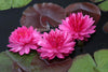 Fuchsia Pom Pom Waterlily <br> Large Hardy Water Lily <br>
