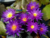 Galaxy Tropical Waterlily <br> Purple Day Bloomer! <br> Ships June-August