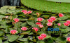 Gloriosa Waterlily, Heavy Bloomer! <br> Small-Medium Water Lily<br>