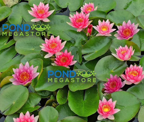 Gloriosa Waterlily, Heavy Bloomer! <br> Small-Medium Water Lily<br> Let us Catch up on Shipping! WATERLILIES RETURN APRIL 18th 2021
