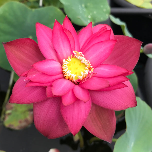 Glory Lotus <br> Tall <br> Zac's Top Selection for 2021! <BR> Reserve Sacred Lotus in OCTOBER for spring 2021!