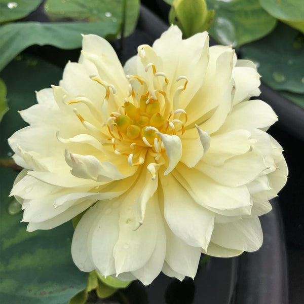 Gold And Resplendence Lotus <br> Dwarf-Medium  <br>  Elegant flowers and seed pods! <BR>