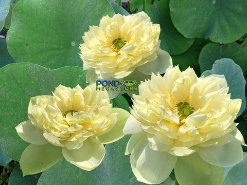 Golden Apple Lotus (Jin Pinggou)  <br> Tall  <br>  Scrumptious Yellow Blooms! <BR> Sold out for 2020!