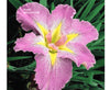 Handmaiden Louisiana Iris <br> Pink Hardy Iris to zone 5b <br> Plants Available Spring 2021