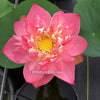 Handsome Hero Lotus <br>  Tall   <br>   Zac's Top 25 Selection for 2020! <BR> Reserve Now for Spring 2020 Delivery!
