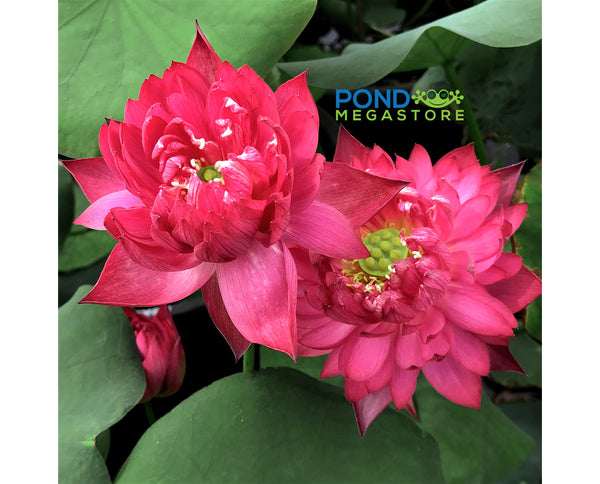 Happy Eyes Lotus (Meiyan) <br> Medium <br> Double Red Blooms! <BR>RESERVE SACRED LOTUS in TODAY for spring 2021!       LP4