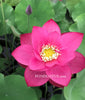 Heartthrob Lotus  <br>  Tall  <br>  Dazzling, rosy-red blooms! <BR> Reserve Now for Spring 2020 Delivery!