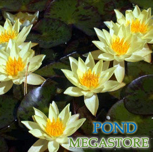 Helvola Waterlily  <br> Dwarf Hardy Water Lily <br> Only 3 Left!