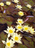 Helvola Waterlily  <br> Dwarf Hardy Water Lily <br> Customer Favorite