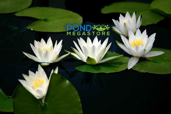 Hermine Waterlily <br> Small Hardy Water Lily <br>Top 20 Bloomer!