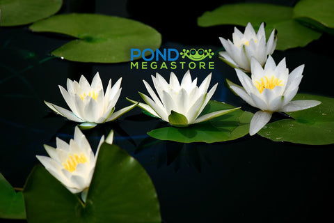 Hermine Waterlily <br> Small Hardy Water Lily <br>Top 20 Bloomer! <br> Plants Available Spring 2021