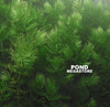 Hornwort (Ceratophyllum Demersum), <br> Best Oxygenating Pond Plant by a mile! <br> Starves algae and protects fish <br> Submerged Grasses are Available to ship to if you want over winter