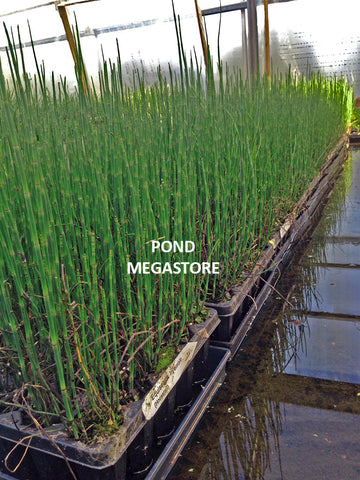 Horsetail Rush (Equisetum Hymale) - Customer Favorite! <br> Plants Available Spring 2021