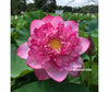 Hurricane Lotus  <br>  Tall  <br>  Perfectly shaped, pink blooms! <BR>